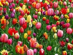 tulips-52125__180